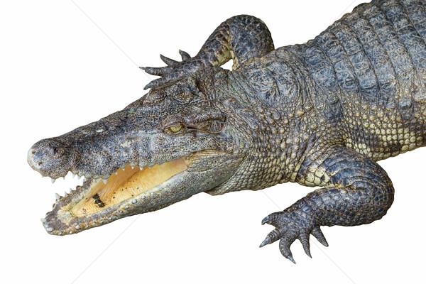 крокодила голову открытых изолированный белый рот Сток-фото © tuulijumala