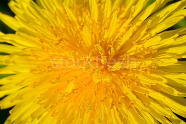 Yellow dandelion bud macro shot summer background. Stock photo © tuulijumala