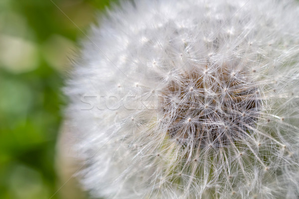 Pitypang makró lövés nyár virágok tavasz Stock fotó © tuulijumala
