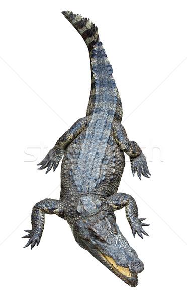 ázsiai krokodil izolált fehér Afrika mérleg Stock fotó © tuulijumala