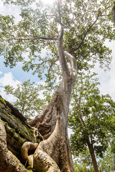 One of the famous big old trees growing in Ta Prohm Temple at An Stock photo © tuulijumala