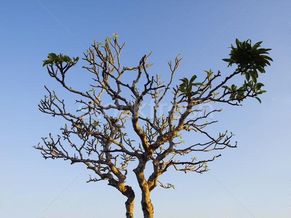 Tree breaking into leaf Stock photo © tuulijumala
