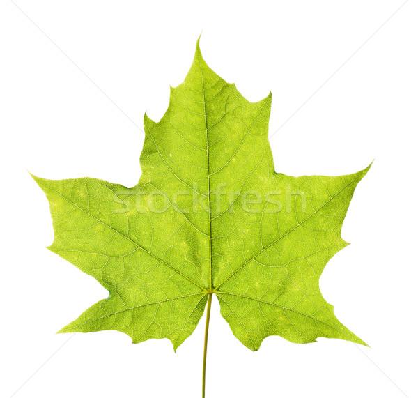 Groene esdoornblad geïsoleerd witte textuur boom Stockfoto © tuulijumala
