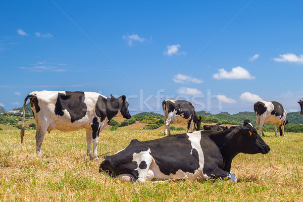 Cows grazing in the field in the summer sunlight. Stock photo © tuulijumala