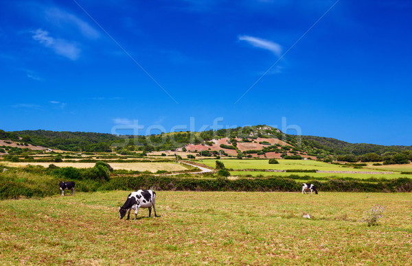 Cows are grazing upon the hills in sunny day at Menorca, Spain. Stock photo © tuulijumala