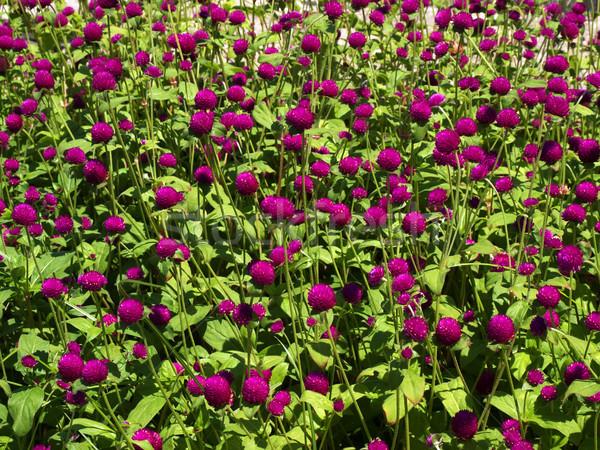 ピンク クローバー 花壇 日光 島 ギリシャ ストックフォト © tuulijumala