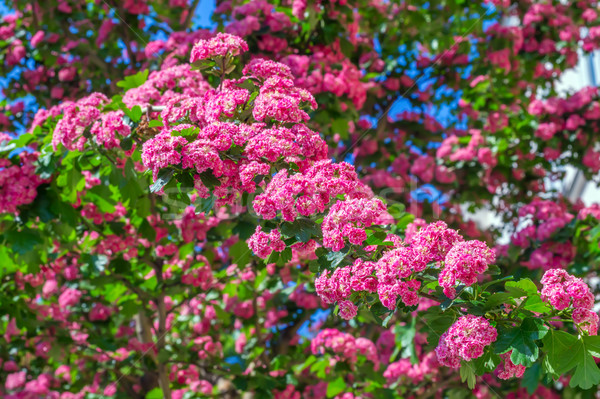 Pink blooming flowers tree branch spring background. Stock photo © tuulijumala