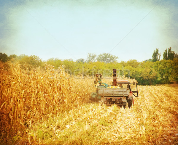 corn field Stock photo © tycoon