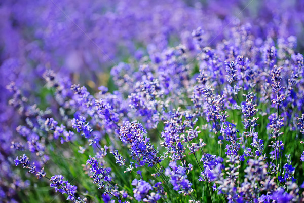 lavender Stock photo © tycoon