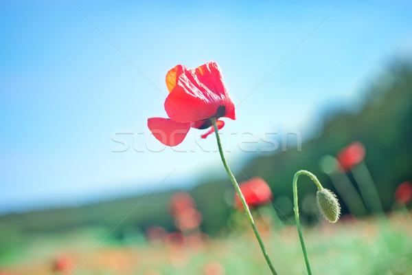 poppies field Stock photo © tycoon
