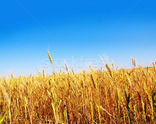 Stock photo: wheat field