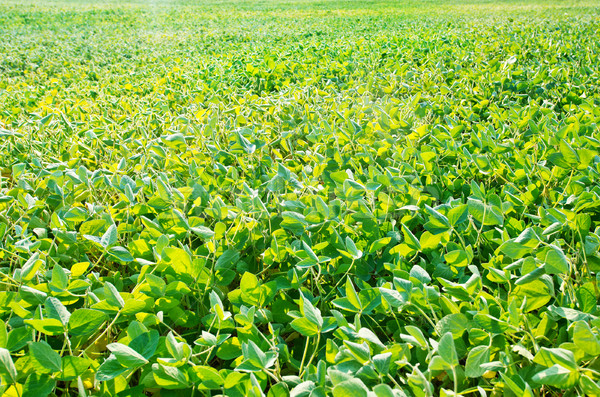 bean field Stock photo © tycoon