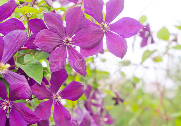 clematis Stock photo © tycoon