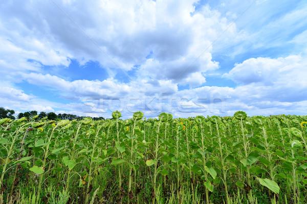 подсолнечника области Blue Sky небе цветок природы Сток-фото © tycoon