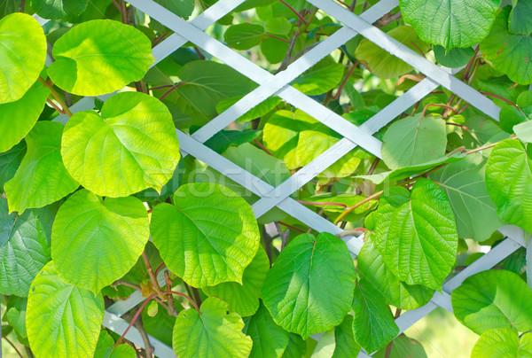 kiwi leaf Stock photo © tycoon