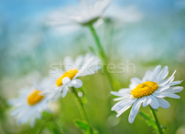 Campo natura giardino estate blu Daisy Foto d'archivio © tycoon