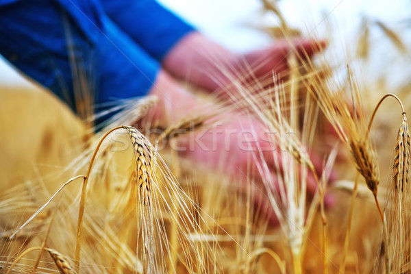 wheat Stock photo © tycoon