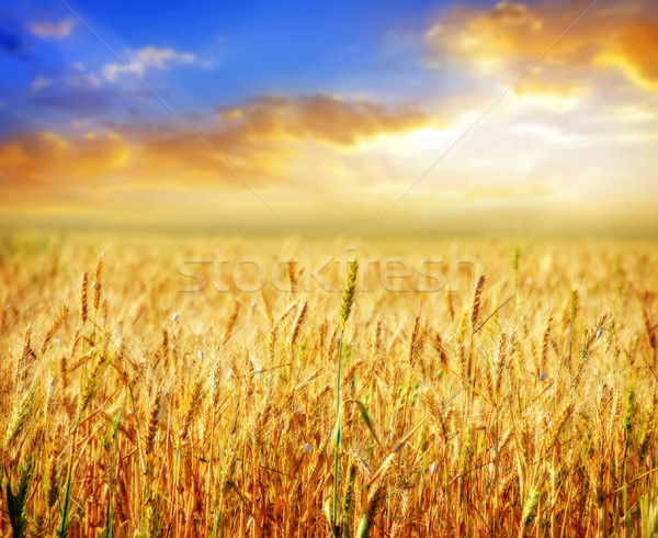 wheat and sky Stock photo © tycoon