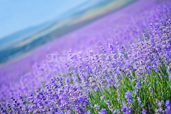 Natuur lavendel veld voorjaar gras weg schoonheid Stockfoto © tycoon
