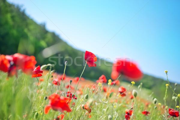 poppies Stock photo © tycoon