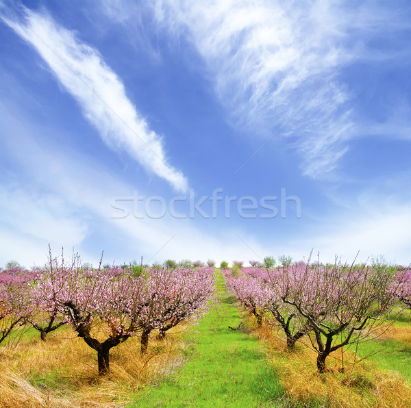 Photo stock: Peach · jardin · printemps · rose · nature · paysage