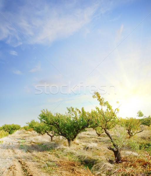персика саду весны закрывается природы пейзаж Сток-фото © tycoon