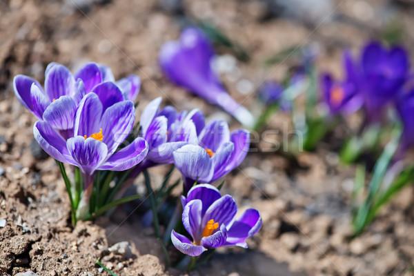Kikerics tavasz kert virágok fű zöld Stock fotó © tycoon