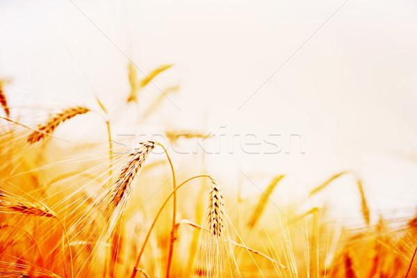 Grano maturo campo di grano cielo blu natura blu Foto d'archivio © tycoon