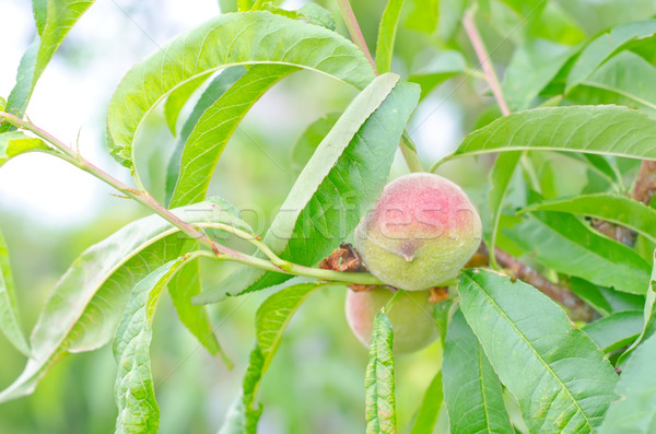 şeftali ağaç bahçe turuncu kırmızı renk Stok fotoğraf © tycoon