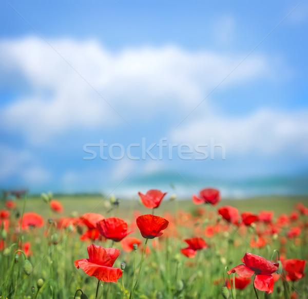 Campo amapola flor primavera hierba paisaje Foto stock © tycoon
