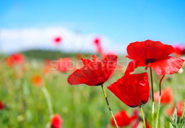poppy field Stock photo © tycoon