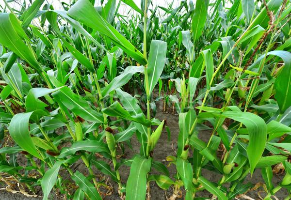 Beautiful green maize field Stock photo © tycoon