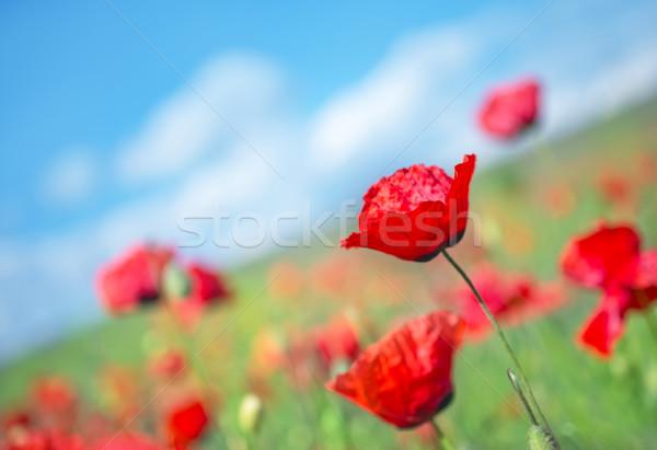 Campo amapola cielo azul flor primavera hierba Foto stock © tycoon