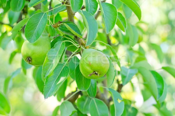 pear on tree Stock photo © tycoon