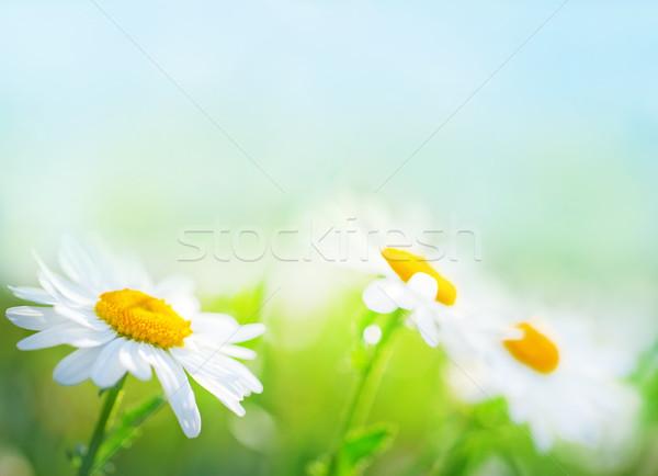 Mező fű nyár farm százszorszép felhő Stock fotó © tycoon