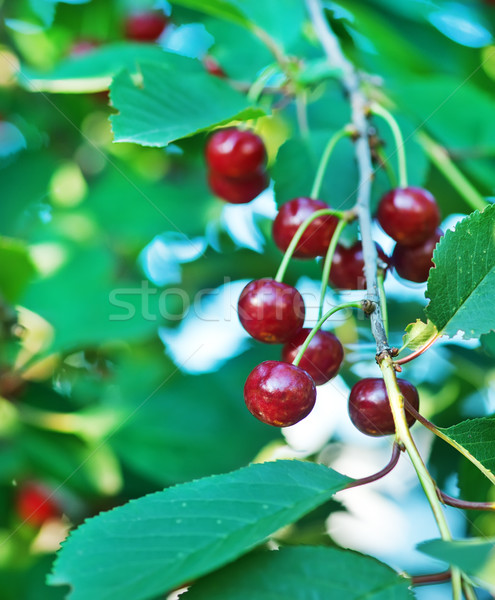 fresh cherry Stock photo © tycoon
