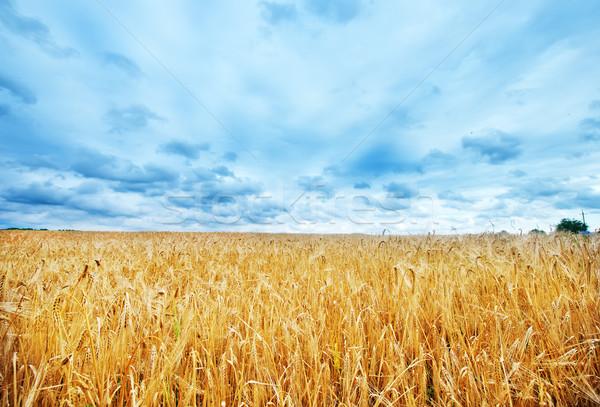 пшеницы пейзаж фон осень Сток-фото © tycoon