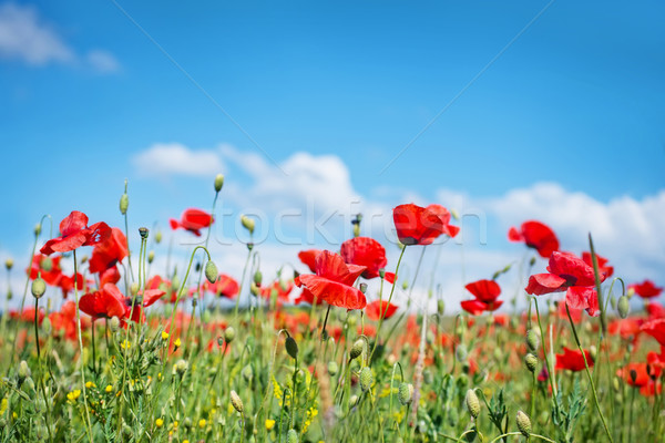 poppies field Stock photo © tycoon