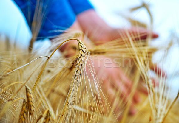 Pszenicy strony pole pszenicy niebo słońce charakter Zdjęcia stock © tycoon