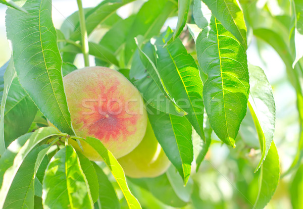 Perzik boom groene Rood steen kleur Stockfoto © tycoon
