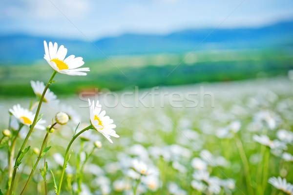 Natureza jardim verão campo azul margarida Foto stock © tycoon