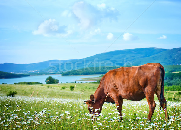 caws in field Stock photo © tycoon