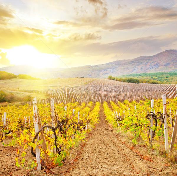 Vineyard in Crimea, mountain in Crimea Stock photo © tycoon