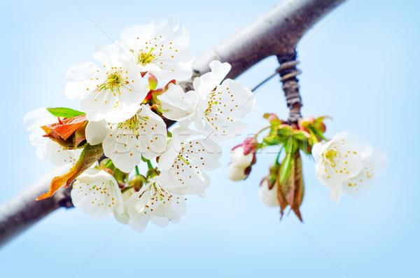 Fleurs du printemps fleur arbre printemps blanche rose Photo stock © tycoon