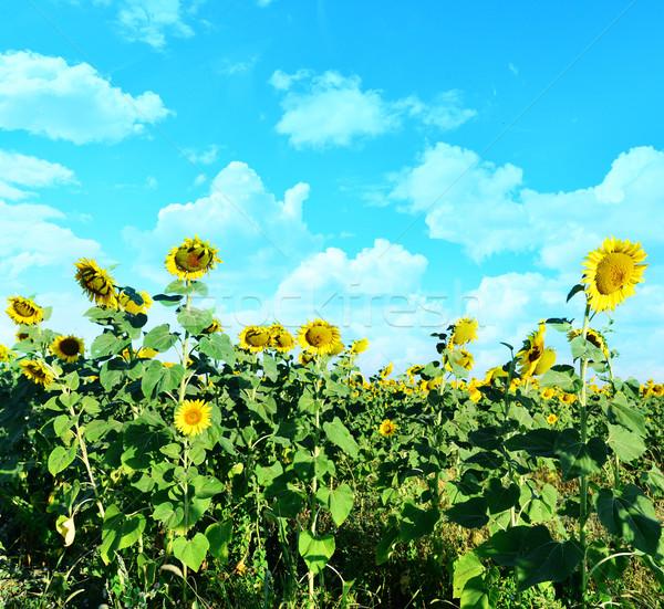 Girassol campo blue sky Ucrânia pôr do sol paisagem Foto stock © tycoon