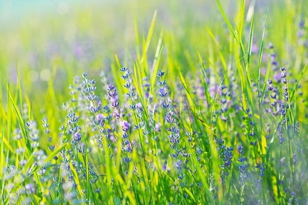 ラベンダー畑 夏 フィールド 美しい 空 雲 ストックフォト © tycoon