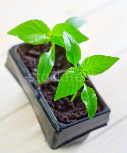 Sämling Garten grünen schwarz jungen Land Stock foto © tycoon