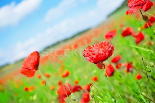 ストックフォト: ケシ · フィールド · 青空 · 自然 · ファーム · 赤