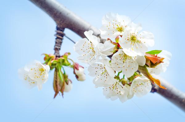 Flores de primavera árbol primavera salud verano planta Foto stock © tycoon