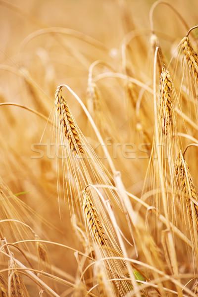 小麦 麦畑 夏 空 フィールド パン ストックフォト © tycoon